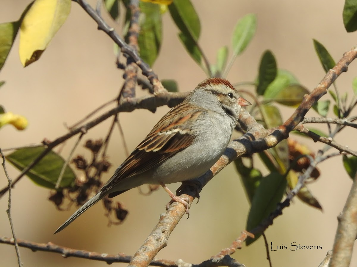 Chipping Sparrow (Gorrion ceja blanca)