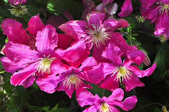 Photo: Clematis 'Remembrance' closeup proefvelden RHS gardens Wisley