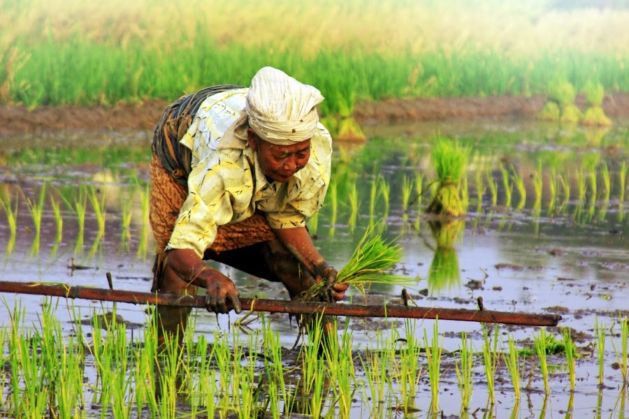 rice Planting by Dije Bakar Murwanto - News & Events World Events