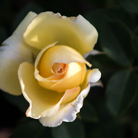 White Bud Rose by John Shelton - Flowers Single Flower ( rose, reno rose garden, white, flower bud, flower,  )