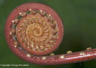 Photo: Fern frond, Kubah National Park, Sarawak, Bornero.2009. Copyright George Beccaloni