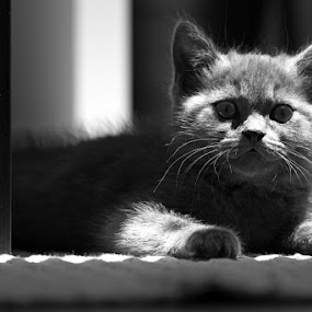 The Lighten One by Nuno Martins - Animals - Cats Kittens