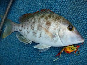 """Photo: 今年、2回目の夜釣りです。 はりきっていくぞー! タイラバにフエフキは、""""クマガイさん""""でした!"""