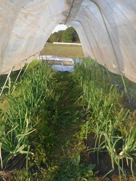 りゅうの畑には奥州玉ねぎ。雨に濡れると受粉できないそうで、雨よけをかけました。虫も嫌いな玉ねぎの花、手で毎日もんで受粉します。