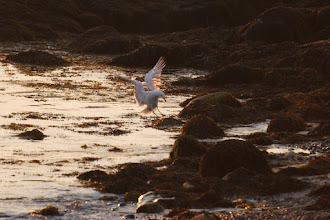 Photo: Seagull landing on rocks at Ye Old Forte Cabins