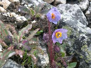 Photo: ケシ科 メコノプシス属 メコノプシス ホリュドゥラ(紫)