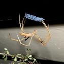 Net-casting Spider - female