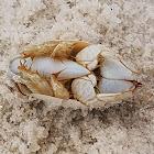 Benedict Sand Crab