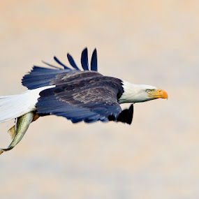 Flying Walleye 2 by Herb Houghton - Animals Birds ( wild, eagle, bird of prey, walleye, bald eagle, herbhoughton.com, raptor, fishing )