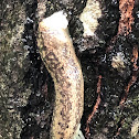 Carolina Mantleslug