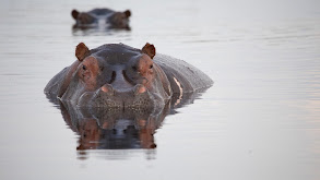 Hippos: Africa's River Giants thumbnail