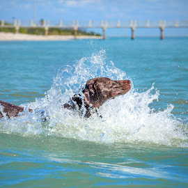 splash by Meaghan Browning - Animals - Dogs Playing ( water, german shorthaired pointer, splash, ocean, gsp )