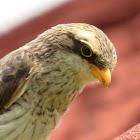 Yellow-billed Shrike