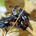 Tachinid flies(mating)