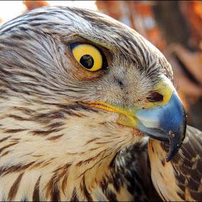 Fierce by Doru Sava - Animals Birds