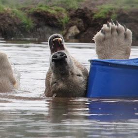 by Rachel Startin - Animals Other Mammals ( polar bear )