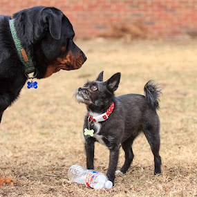 Please don't eat me by Patricia Konyha - Animals - Dogs Playing ( 2018, february, dogs, playing, back yard,  )