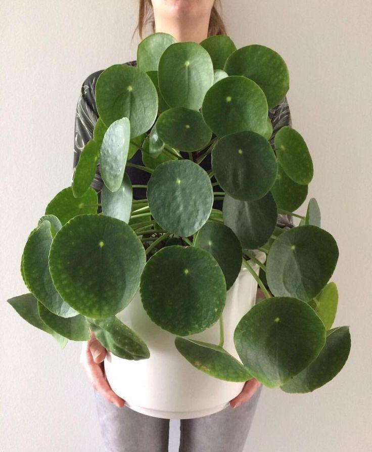 Pannenkoeken plant | Pilea peperomioides #pannenkoekenplant # pileapeperomioides | Planten, Hangplant, Huisplanten