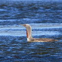 Colimbo chico (Red-throated loon)