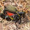 Horse Lubber Grasshopper