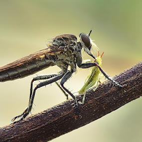 Black Robberfly by Vandie Ndie - Animals Insects & Spiders