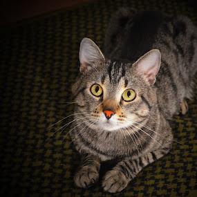 Little bobcat by Sean Valdez - Animals - Cats Portraits