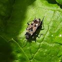 Mediterranean seed bug