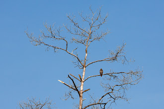 Photo: a red hawk (?) sits and waits