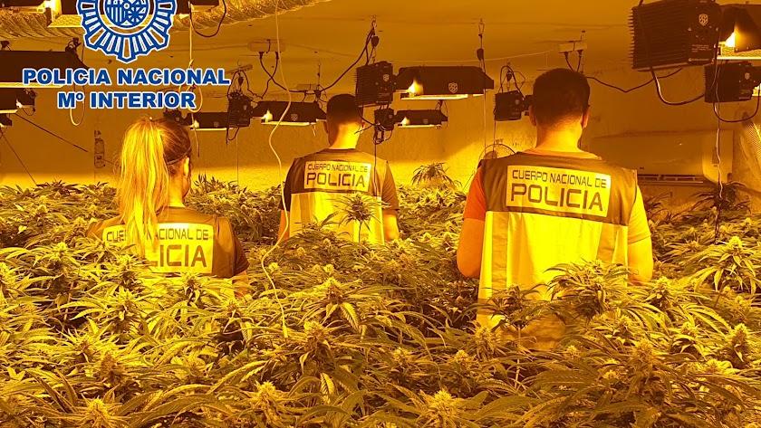 Las plantaciones de marihuana proliferan en la provincia.