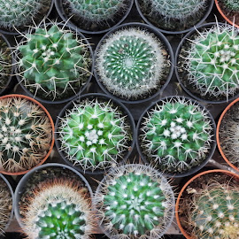 Mini Cactus by Koh Chip Whye - Nature Up Close Other plants (  )