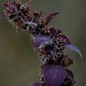 common basil, sweet basil, Dark opal basil