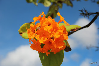 Photo: Flor de un arbol sobre la costa