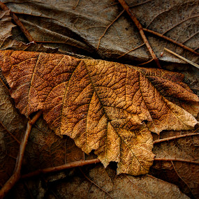 Beauty Of Ageing by Ringo Lee - Nature Up Close Leaves & Grasses ( fall leaves on ground, fall leaves, texture, left, brown, yellow, beauty, ageing )