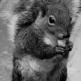 Hungry and Wet by Paul S. DeGarmo - Black & White Animals ( cold, day, wet, hungry, squirrel,  )
