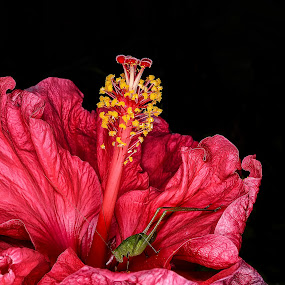 Alone in the dark by Romano Alberto Basso - Flowers Single Flower ( grasshoper, hibiscus, red, dark, flower,  )