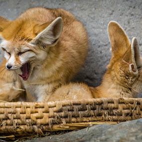 Sleepy Foxes by Jeffrey Martin - Animals Other ( animals, fox, zoo, sleepy, foxes,  )