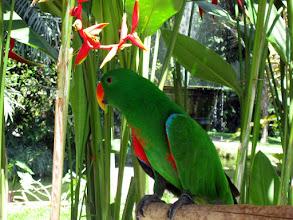 Photo: Краснокрылый попугай Aprosmictus erythropterus