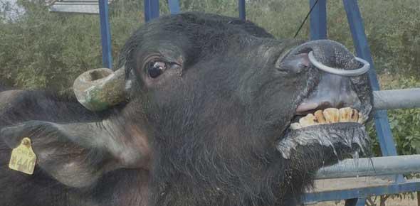 Respuesta de flehmen expresada por un búfalo adulto.