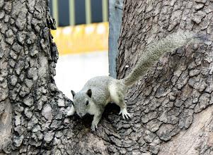 Photo: Year 2 Day 55 - Squirrel in the Shwekyimyin Paya