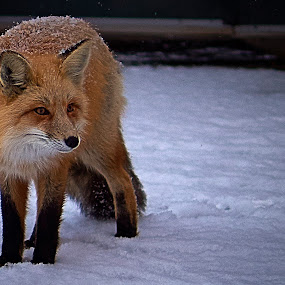 Foxy Cool by Kyle Kephart - Animals Other Mammals ( animals, red, fox, beautiful, snow, snowy, wildlife, cute )