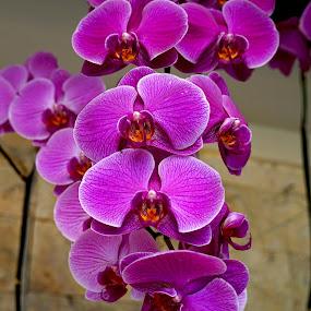 Red Orchid #2 by Mulawardi Sutanto - Flowers Flower Gardens ( red, taman bunga nusantara, travel, orchid, flower )
