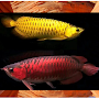 Arowana Fish Contest APK icon
