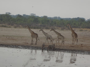 Photo: Zebras and giraffes seem to be friends.