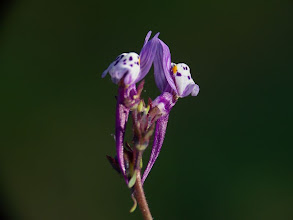 Photo: Linaria amethystea