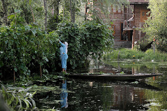 Photo: A Kashmiri woman plucks vegetables on the Dal Lake in Srinagar. (AP)