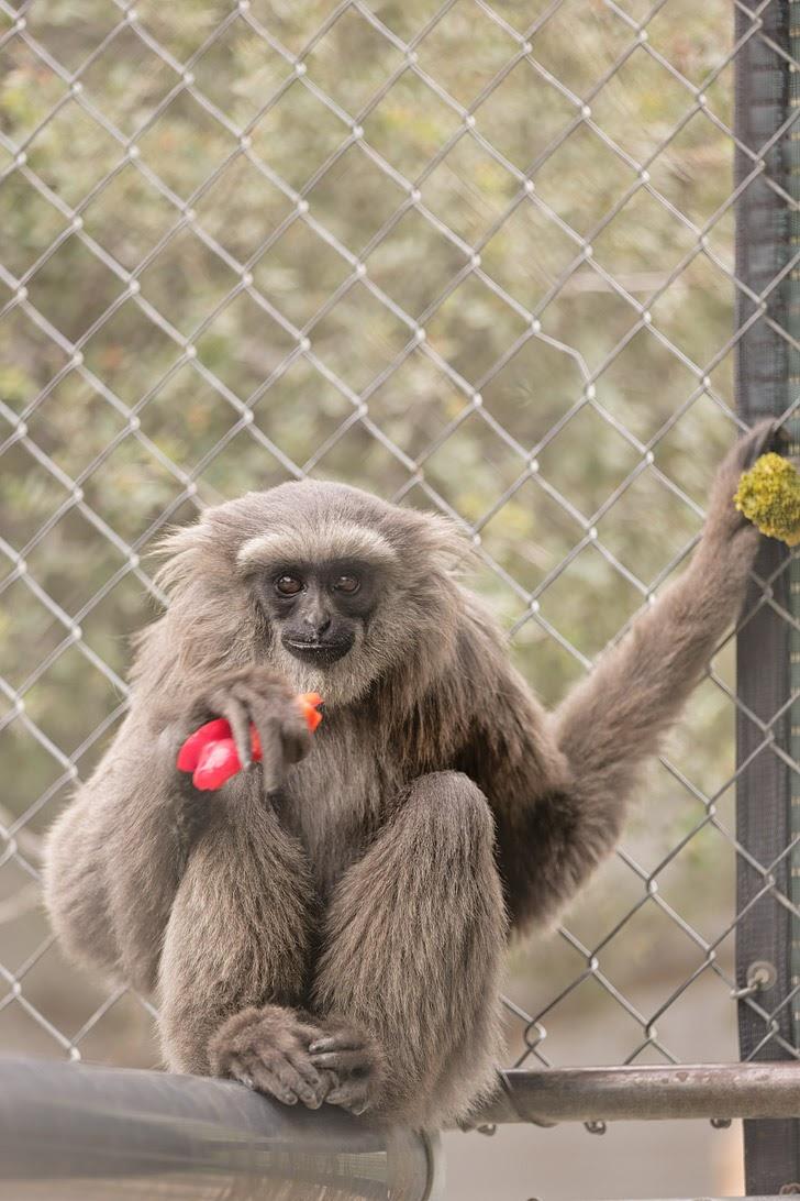 Javan Gibbons at the Gibbon Conservation Center.