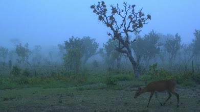 Photo: A duiker arriving at the salt lick under a storm; Um bambi chegando à salina sob um temporal.