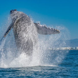 Humpback Breaching by Andrew Christmann - Animals Other Mammals ( humpback whale, mexico, whale, fish, animal, humpback, puerto vallarta )