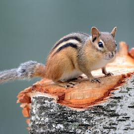 Chipmunk by Steven Liffmann - Animals Other Mammals ( chipmunk, wildlife, rodent, closeup,  )