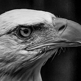 Eagle by Garry Chisholm - Black & White Animals ( raptor, bird of prey, nature, eagle, garry chisholm )